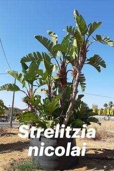 Incomparable and majestic Strelitzia tree solves your exotic garden visions! Landscape Solutions, Garden Solutions, Air Cleaning Plants, Planting Plan, Design Your Home, Tropical Garden, Algarve, Winter Garden, Trees To Plant