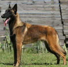 Belgian Shepherd Malinois, the #1 canine of choice for the Military, guard duties, etc.