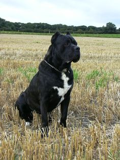 Cane Corso or Italian Mastiff. Loyal, affectionate, sweet, excellent guard dog. Will not wander away and almost zero shedding. And HUGE!!!!