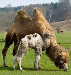 Mother and Baby Camels