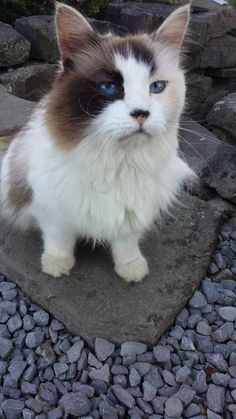 If you've been looking for a beautiful, family cat, look no further!  Gorgeous Saphire is about 7-8 years old, but don't let that deter you.  This gorgeous girl still has a lifetime of love and affection to give!  She is very, very affectionate! ...