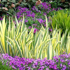 Iris pallida 'Pallida Variegata' - Orris - Plant Finder - Sunset.com