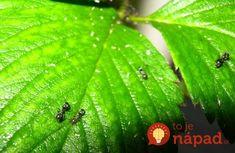 Ako som sa zbavila mravcov na jahodách: Je to úplne jednoduché a mravce sa k jahodám už nepriblížili! Plant Leaves, Plants, Ale, Animals, Animales, Animaux, Ale Beer, Animal, Plant