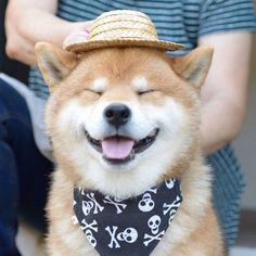 Cute dog - funny animals- shiba dog