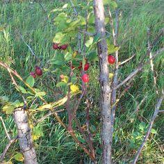 rose hip bush by the roadside (pic from my blog Bilingual Blah Blah: Herbst!)