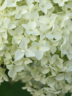 white flower, love white, my garden, spring