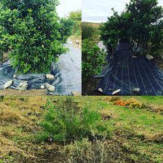 【sachiko_eno】さんのInstagramをピンしています。 《今日もお疲れさま〜😊✨✨ 、 朝からこの畑にあるお墓用のしきみ、(またはしきび)の下に草対策❗️防草シートを張りました〜💪 枯れた草、石ころ、昔捨てられたマルチなどなど片付けて… お墓を守るにはこの木🌳は大事なのでね✨✨✨私にしては頑張ったっす😄👍 後は春に植えたラベンダーの周りの草やっつけて〜後はトラクターでやってもらおう✨ ここの畑には、5年前までは義両親が商売用に白菜やキャベツなどたくさん作ってました❗️ 2人とも同時期に病気になり1年目に義父、3年後に義母が亡くなり、畑はとても寂しそうです💧 でも、ここの畑には先代🐕柴犬チロのお墓があります😊💕 初春には水仙が咲きます💕守り神ならぬ守り犬🐕だね✨❤️ 、 #朝から #草対策 #防草シート #張りまくった〜 #意外なゴミも出るわ出るわ💧 #あともう少しやるべ #畑に花 #植えて #寂しくないようにね✨ #他に #ビワ #百日紅 #桜 #ブルーベリー #柑橘類 #植えてある》