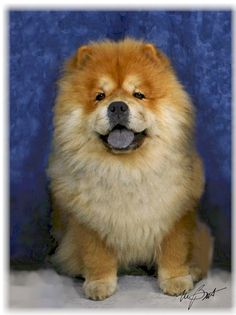 Chow Chow Pup Note Cards Best Dogs For Families, Family Dogs, Lion Dog, Dog Cat, Chinese Dog, Chow Chow Dogs, Like A Lion, Dog Show, Four Legged