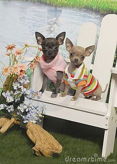 Chihuahua Puppies in an Adirondack Chair