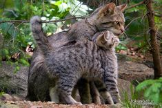 Kittens Cutest, Cats And Kittens, Cute Cats, Beautiful Cats, Animals Beautiful, Cat Species, Cat Reference, Feral Cats, Cat Behavior