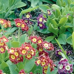 Primula auricula medley of hybrids, Auricula primrose, partial shade woodland flower, 6-8 inches tall, blooms early to late spring (remove flowers as they fade).