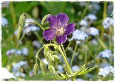 Geranium phaeum 'Lily Lovell'