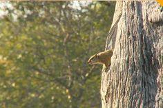 Tree squirrel #SafariLive @scottydsafari  @AndrewJoFrancis