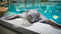 MONSTER Snooty Die At 69yrs   Snooty the worlds oldest known captive manatee who lived at a South Florida aquarium for more than half a century died on Sunday. He was 69. Born in 1948 Snootys arrival was the first ever recorded manatee birth in human care. He moved to the South Florida Museum in Bradenton in 1949 and saw more than 1 million visitors during his lifetime.  Snooty was dubbed the official mascot for Manatee County in 1979 and celebrated his 69th birthday on Saturday.  The museum…