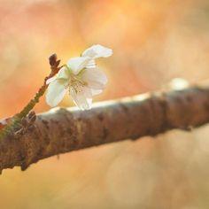 【ya.24】さんのInstagramをピンしています。 《* * *この時期に咲く桜。 *背景は紅葉🍁 *今日はいっぱい紅葉に出会えた♩ * * #桜#はなまっぷ#紅葉#sakura#ジュウガツザクラ#冬桜#flower#ザ花部#oita#鶴見岳#秋#花#hueart_life#team_jp_#ink361#ink361_asia#IGersJP#indies_gram#instagramjapan#RECO_ig#オールドレンズ#オールドレンズ部#東京カメラ部#as_archive#tokyocameraclub#olympus#olympusomd#Airy_pics#cools_japan#oitacameraclub》