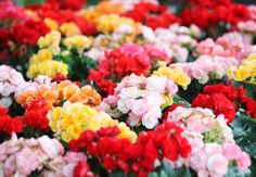 Begonia Care Tips for the Best Blooms