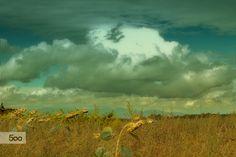 Photo nuages sur champ de tournesols en fin de saison par Isabelle Cerf worsham on 500px