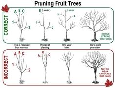 How to properly prune fruit trees. This is great but how to grow without chemicals to keep bugs from eating them up?