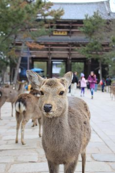 Deer Park in Nara Japan Nara, Go To Japan, Visit Japan, Japan Trip, Asia Travel, Japan Travel, Travel Tips, Animals Beautiful, Cute Animals
