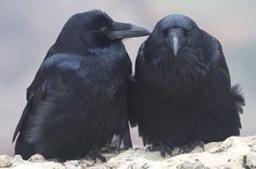 Common Raven photo: Pair bonding, on the south rim of the Grand ...