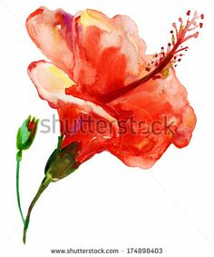 Watercolor red  hibiscus. - stock photo