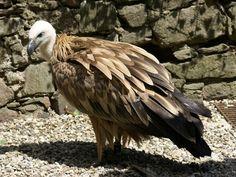 http://faaxaal.forumgratuit.ca/t1170-photos-de-rapaces-vautour-fauve-vautour-griffon-gyps-fulvus-vultur-fulvus-griffon-vulture?highlight=Vautour