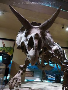 Triceratops Horridus at the Smithsonian Natural History museum