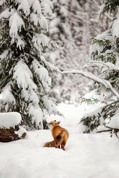 Fox in Snow    Moonshine & Wool
