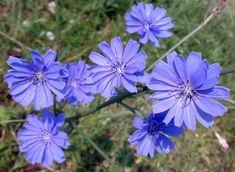 Taraxacum Officinale, Natural Health Remedies, Monarch Butterfly, Medicinal Plants, Natural Medicine, Natural Healing, Flower Power, Perennials, Wild Flowers