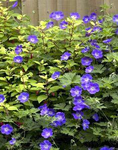 Geranium Rozanne, Garden Plants, Perennials, Yard, Outdoor, Gardens, Blue Garden, Flowers, Patio