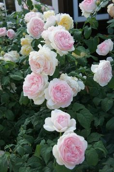 Captivating Why Rose Gardening Is So Addictive Ideas. Stupefying Why Rose Gardening Is So Addictive Ideas. Flora Flowers, Edible Flowers, Beautiful Roses, Beautiful Flowers, Heritage Rose, Good Morning Flowers, David Austin Roses, Rose Bush, Climbing Roses