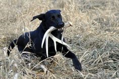 Ten years ago it would have been difficult to find anyone who used a dog to hunt shed antlers. Today, not so much. Not only do shed dog breeders exist across the country, it's also possible to visit your local sporting goods store and purchase training tools specifically designed to teach dogs to seek out and retrieve cast antlers. These tools, along with a basic understanding of how dogs go about finding bone, can be used to turn any dog into a shed antler hunter. This is especially true if…