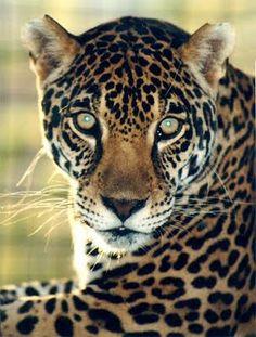 Jaguar #cat #jaguar