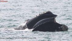 Novo estudo confirma declínio de população de baleias-francas
