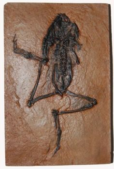 Fossilized Frog from the Messel Pit, Germany ( 47 million years old- The pit deposits were formed during the Eocene Epoch of the Paleogene Period)
