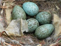 Raven's Nest and Eggs. Be STILL, my beating heart. How grand are these? Graaannnd.