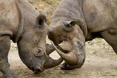 Rhinocéros noirs - Diceros bicornis mickaeli