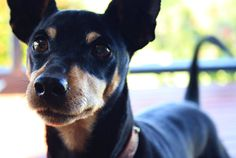 Miniature Pinscher, Min Pin #Dogs