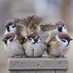 「もうー、やめてよー」 頭に着地しないでね #雀 #スズメ #すずめ #sparrow