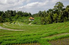 paddy field rice green -  paddy field rice green free stock photo Dimensions:4928 x 3264 Size:11.31 MB  - http://www.welovesolo.com/paddy-field-rice-green/