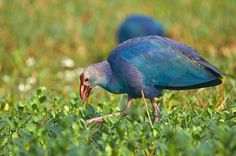 Grey-headed swamphen - null