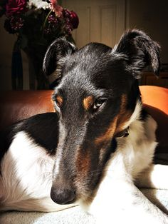 Handsome Henri, Smooth Fox Terrier, and his lovely long nose.