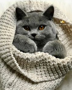 Cats And Kittens Grey British Shorthair 35 Ideas - British Shorthair - Ideas of British Shorthair - Cats And Kittens Grey British Shorthair 35 Ideas The post Cats And Kittens Grey British Shorthair 35 Ideas appeared first on Cat Gig. Cute Cats And Kittens, I Love Cats, Kittens Cutest, Blue Cats, Grey Cats, British Blue Cat, Baby Animals, Cute Animals, Fluffy Cat