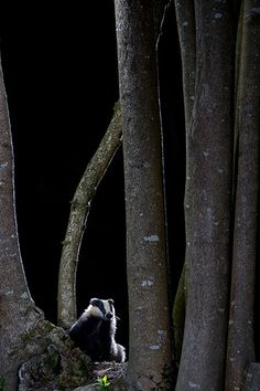 Badger in the Woods by Richard Packwood, winner of the Wildwoods category Photograph: Richard Packwood/BWPA/PA
