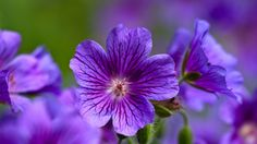 Beautiful Nature Wallpaper for Desktop with Violets Flower