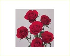 Scarlette - Spray Rose - Roses - Flowers by category | Sierra Flower Finder