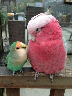 Roselle Cockatoo and Lovebird