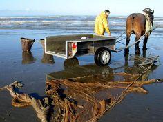 Fishing with a Brabant (Belgian) heavy draft horse @Oostduinkerke, Belgium