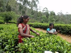 Visiting fair trade tea producers on our Sri Lanka Tour