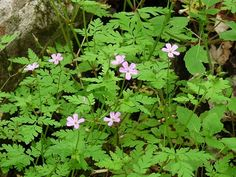 Herb Robert, or what was once known as Saint Robert's Herb, was named after a French monk who lived in 1000 AD, who has cured many people suffering from various diseases using this plant. First Nations people have used this plant internally to help with many health ailments and externally for healing wounds, herpes and skin eruptions.